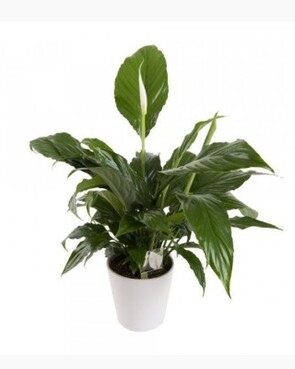 Spathiphyllum - Peace Lily In Ceramic
